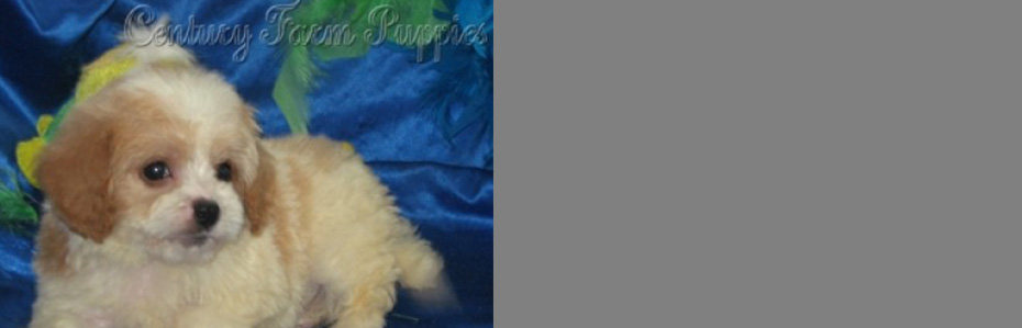 Cavachon Puppies For Sale & Designer Dogs From Breeder
