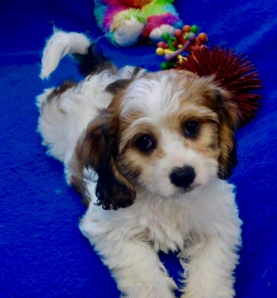 Cavachon Puppies Prices & Puppy Breeder in Iowa | Century