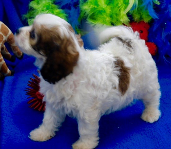 Cavachon Puppies Prices & Puppy Breeder in Iowa | Century